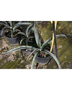 Yucca baccata var. Baccata