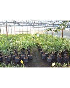 Trachycarpus fortunei var. wagnerianus X fortunei