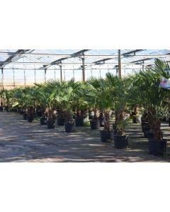 Trachycarpus fortunei var. wagnerianus