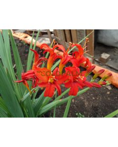 Crocosmia var. Lucifer