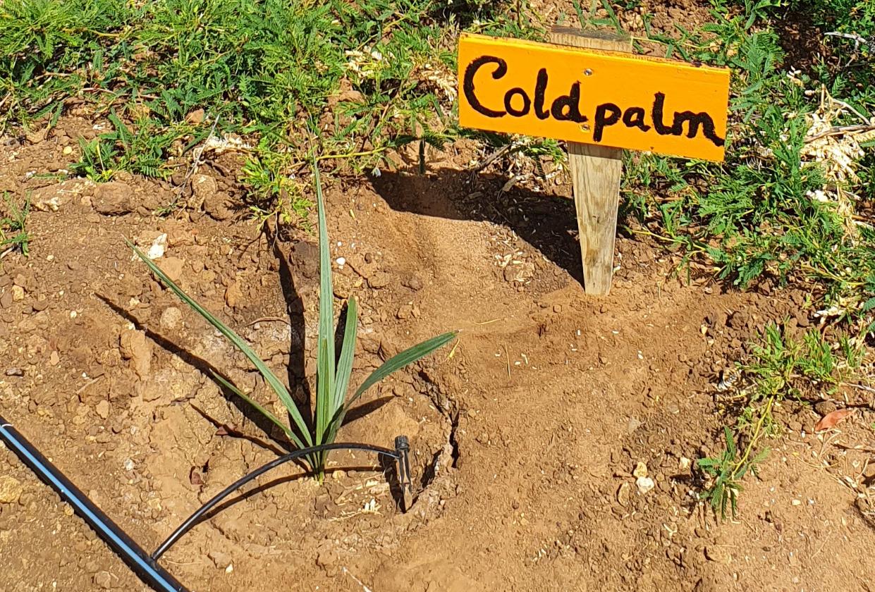 Herbossing van de Bonairepalm